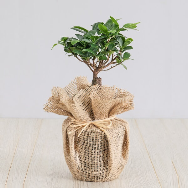 Exotic Ficus Ginseng Plant